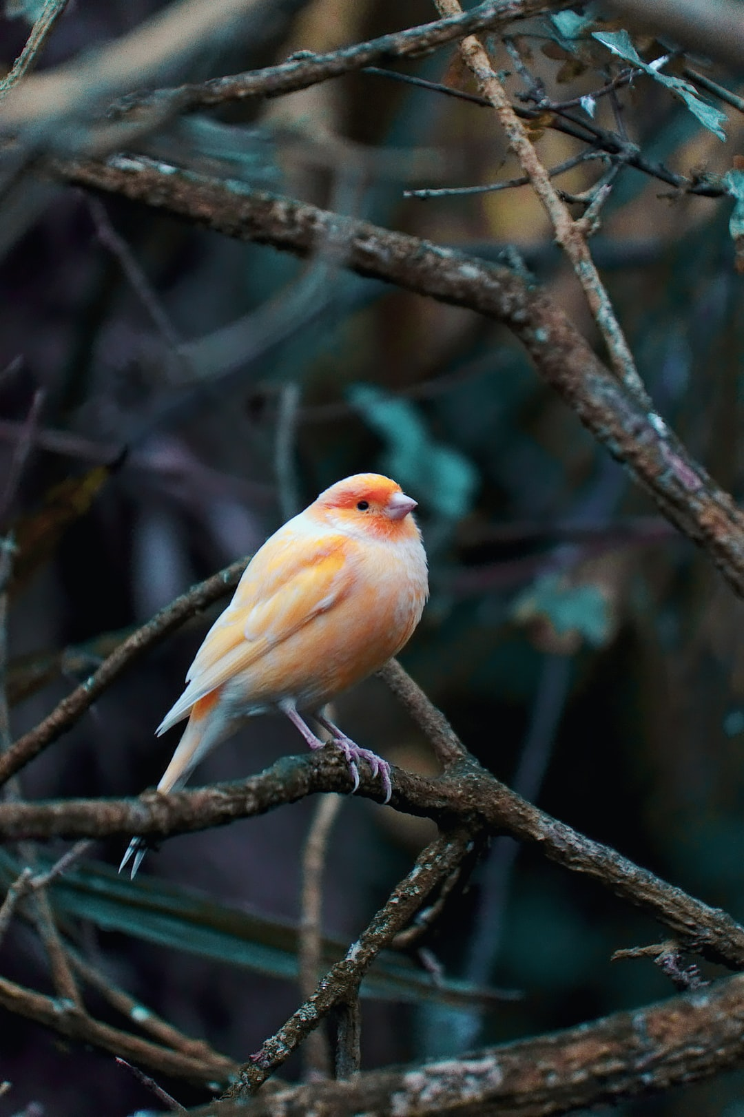 I took this on a cold November morning in a public bird aviary, as a result this canary looks pretty fluffy trying to keep warm. I love how it's bright feathers contrast with the dark tree branches around it!