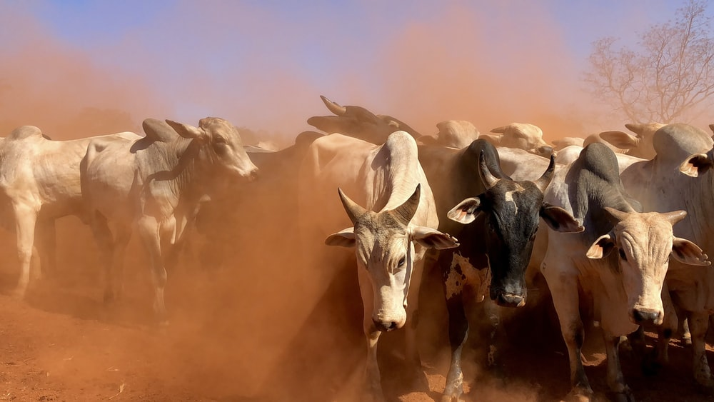 herd of cattle during daytime