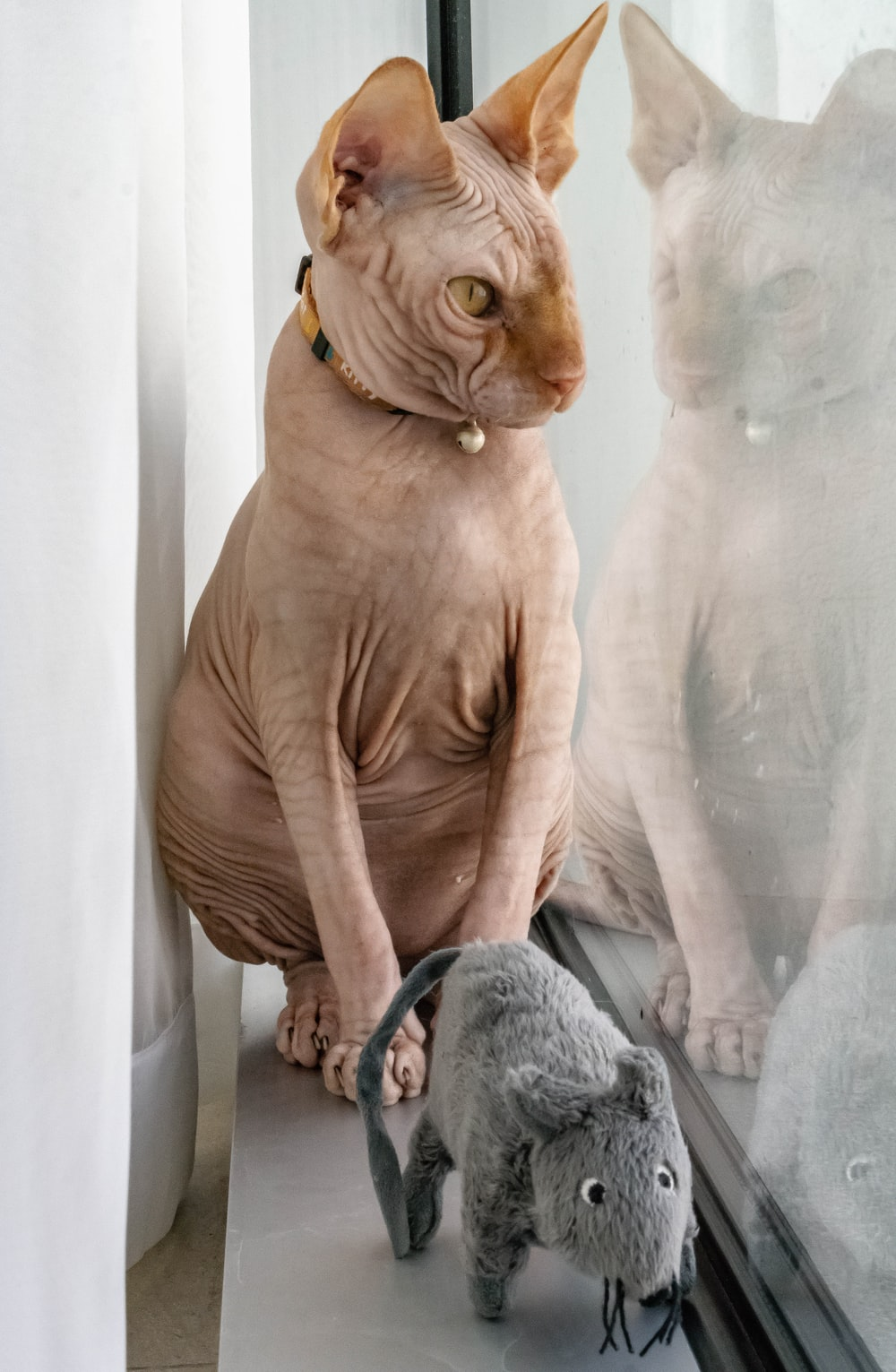 Sphinx cat sits beside glass window with gray rat plush toy