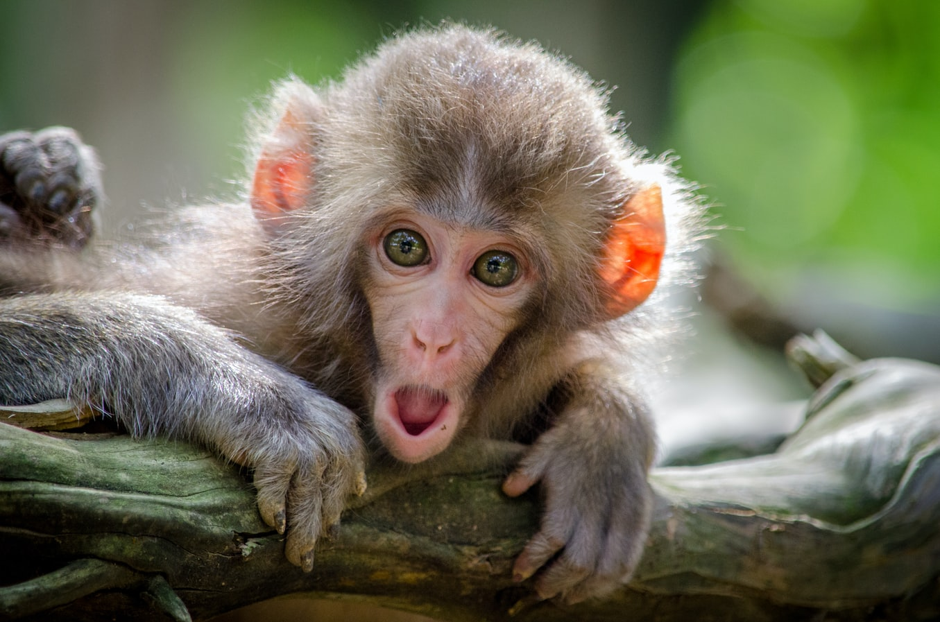 Small shocked monkey clinging to a log