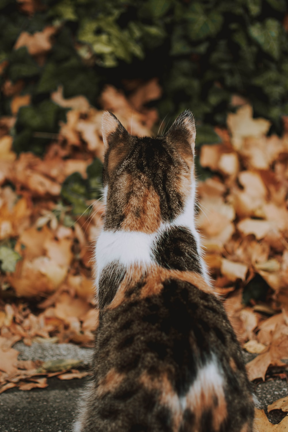 calico cat standing in front of dry leaves