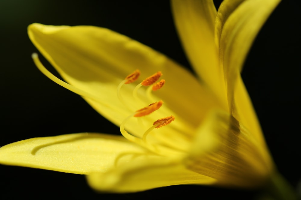 yellow tiger lily flower in close-up photography