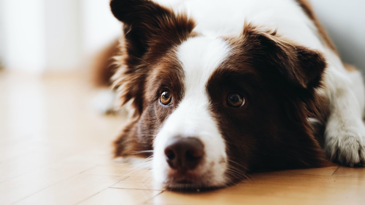 Separation Anxiety and Loss of Appetite in Dogs
