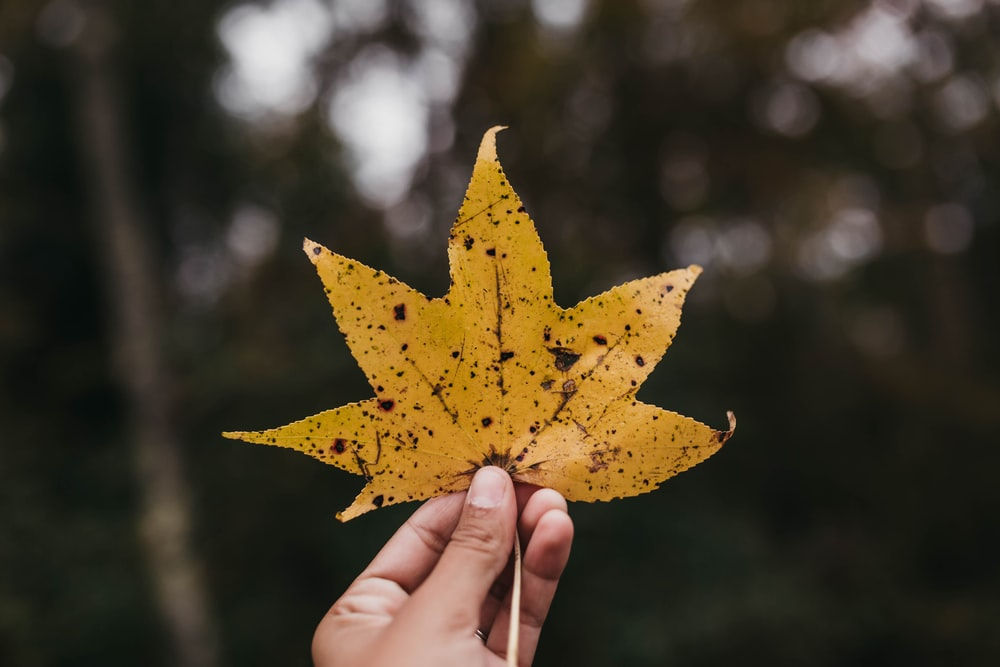 person holding dried maple leaf in shallow photo