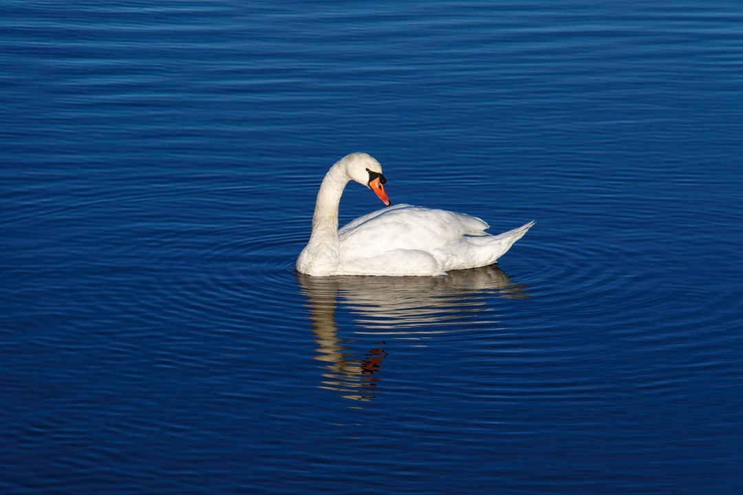 An early morning October walk by the river. I came across this beautiful swan. The river was calm and produced lovely ripples and reflection of this magnificent bird.