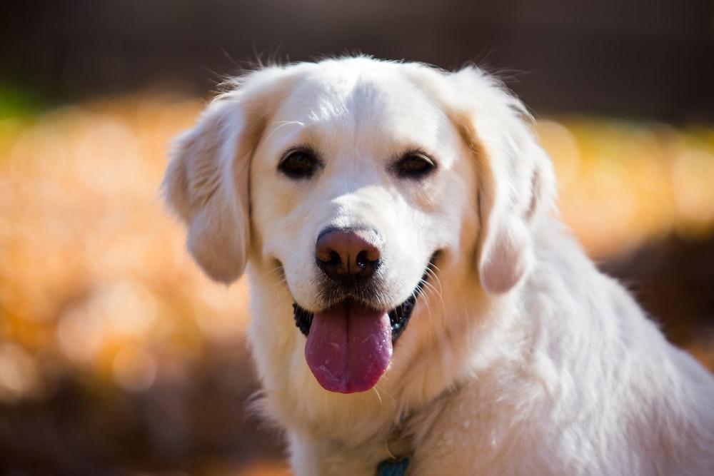 adult Labrador retriever