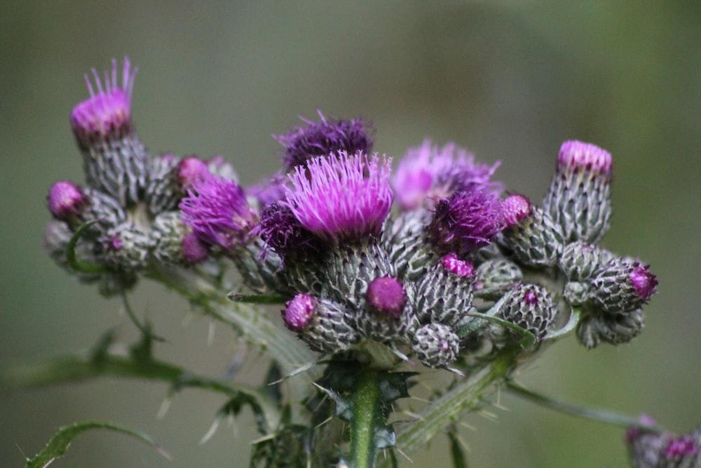 purple flower buds