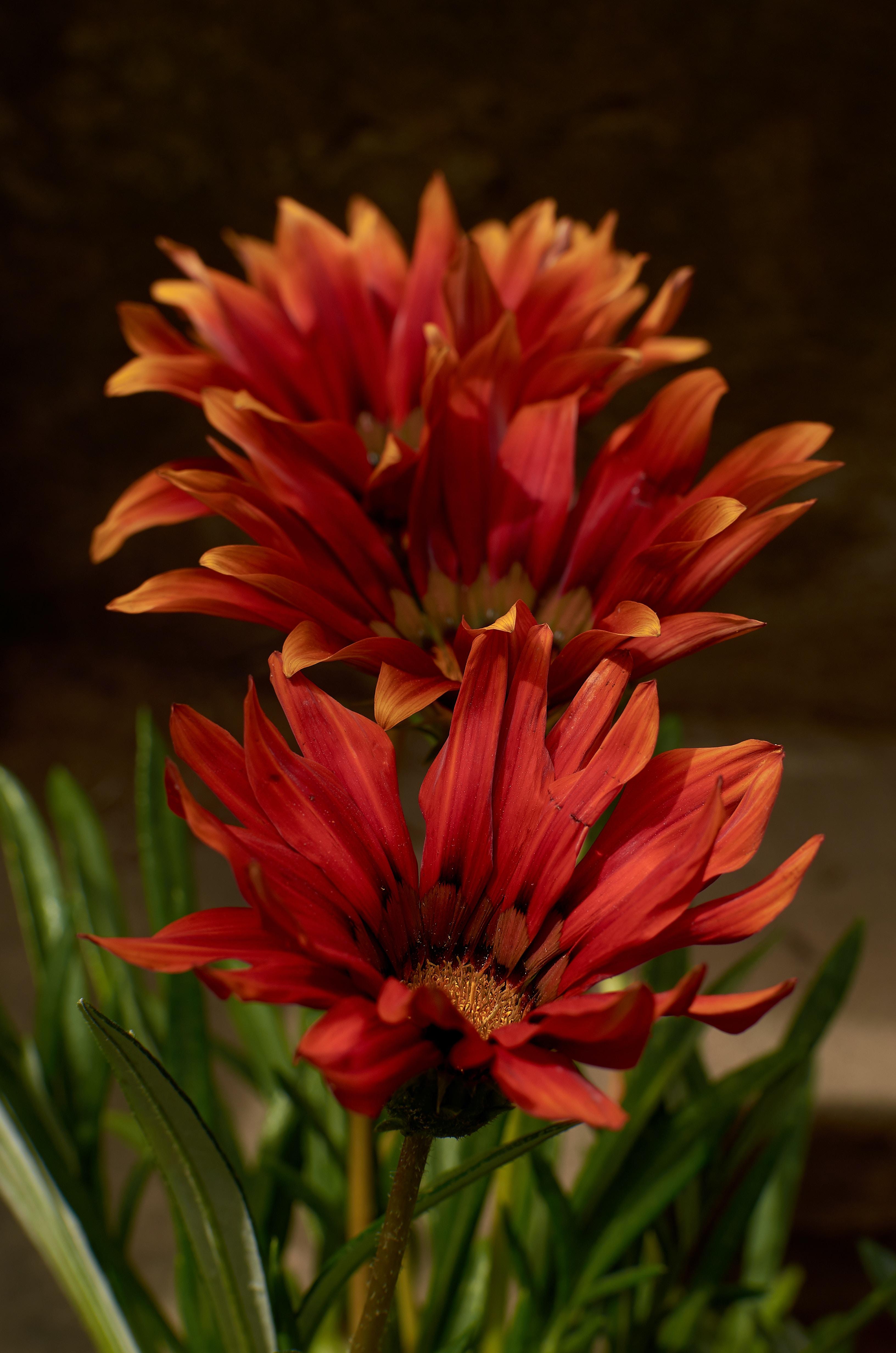 three red flowers close-up photo