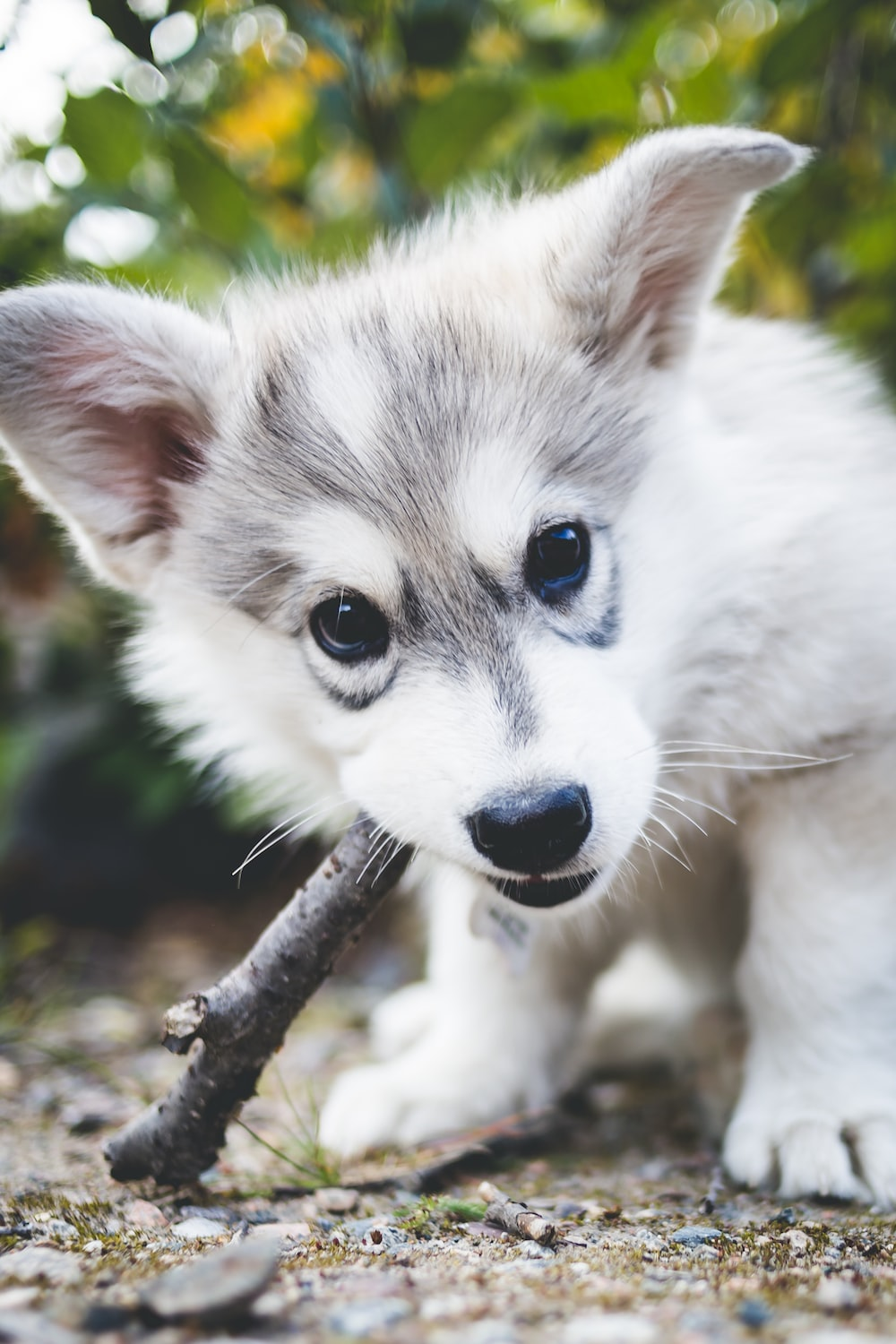 short-coated white and gray puppy biting brown tree branch