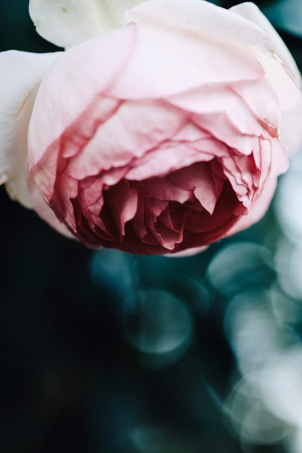close-up photography of pink flower