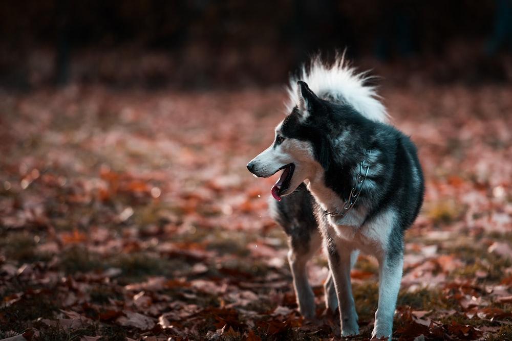 black and white Siberian husky