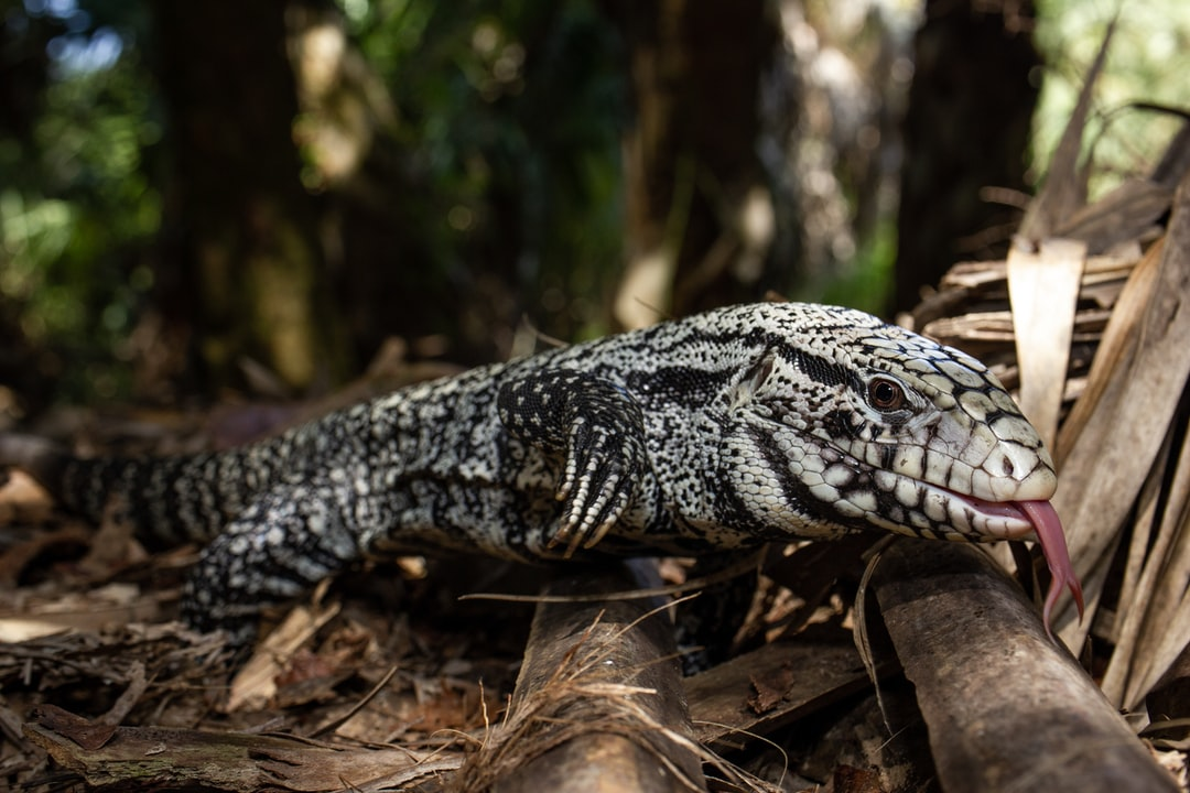 This is an Argentine black and white tegu. Originally from South America, these large lizards are taking over southern Florida. Released through the pet trade, these reptiles eat the eggs of many Florida native animals, causing a huge threat to the ecosystem. The one pictured above was trapped a couple hours outside of Miami.