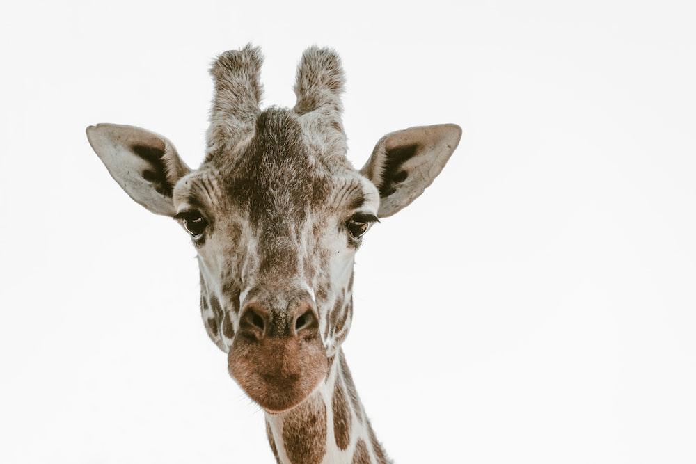 beige and brown giraffe head