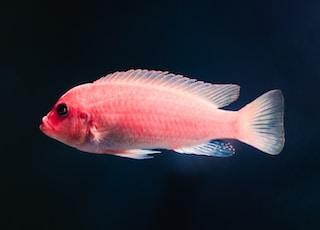 pink pet fish