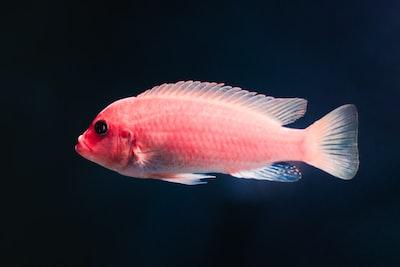 pink pet fish fish zoom background