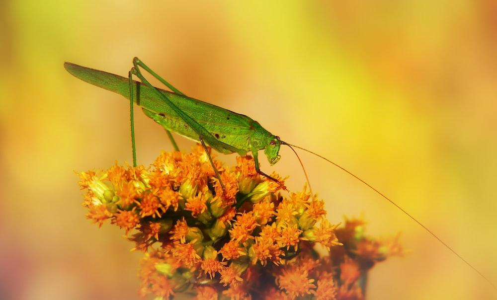 green grasshopper on pink flower