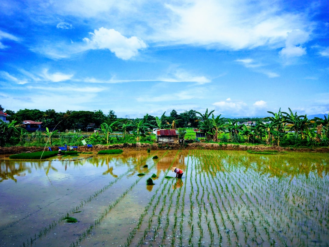 farmers in South Sulawesi are planting rice in the second season of this year