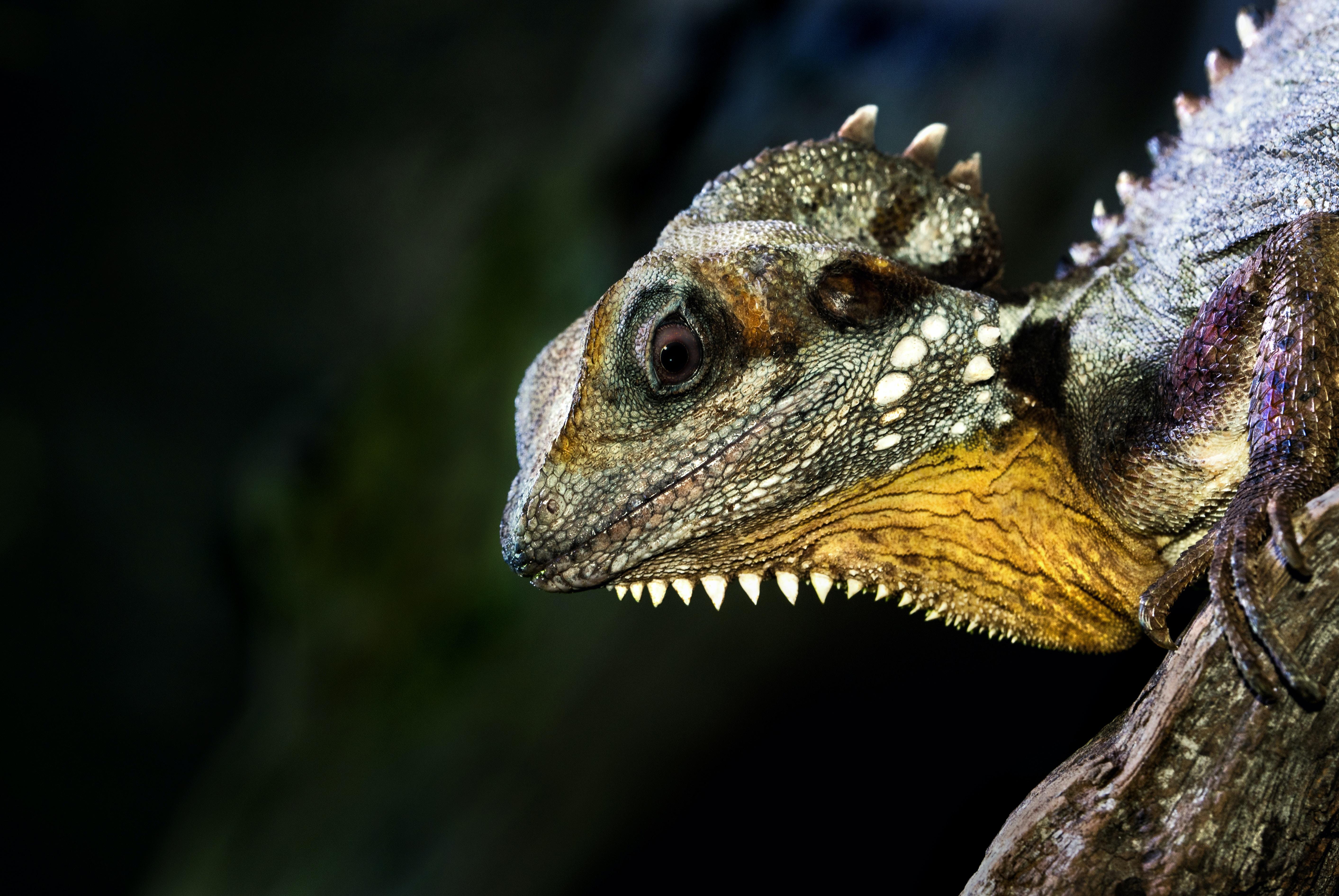 green and purple iguana on log