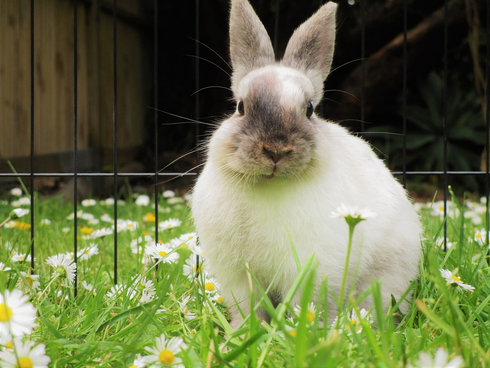 white and brown rabbit sitting on daisies