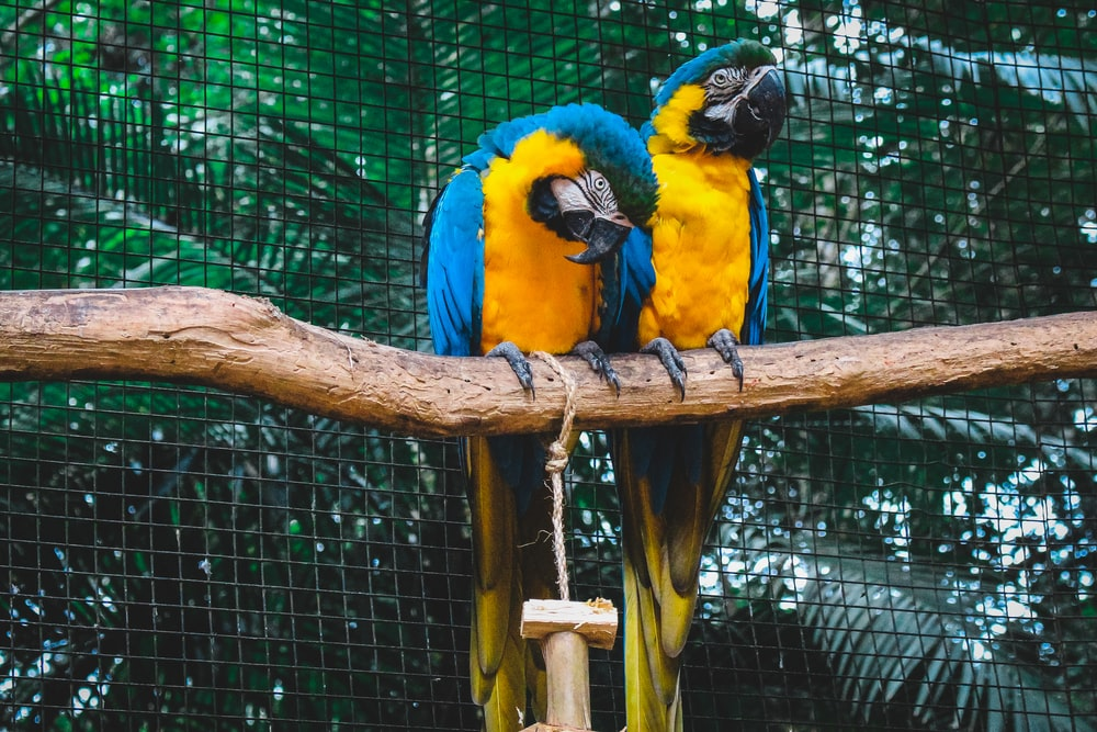 two blue-and-yellow Macaws perched on tree