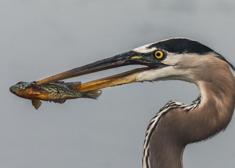 brown and black bird eating fish