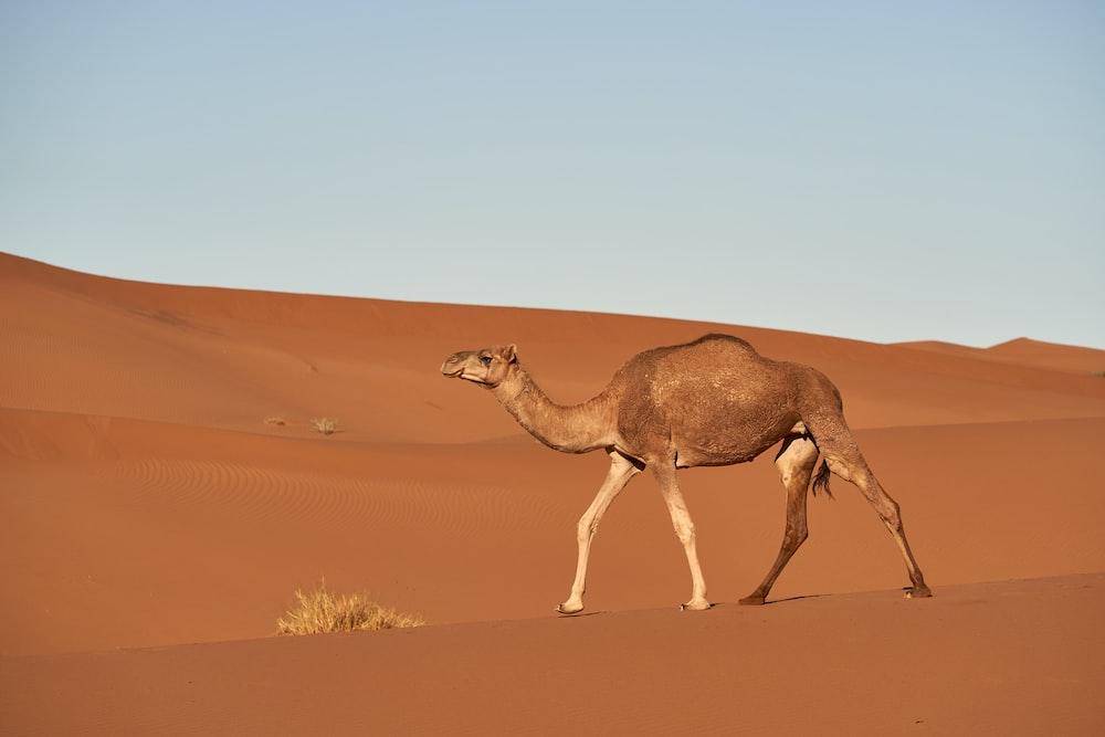 camel on desert