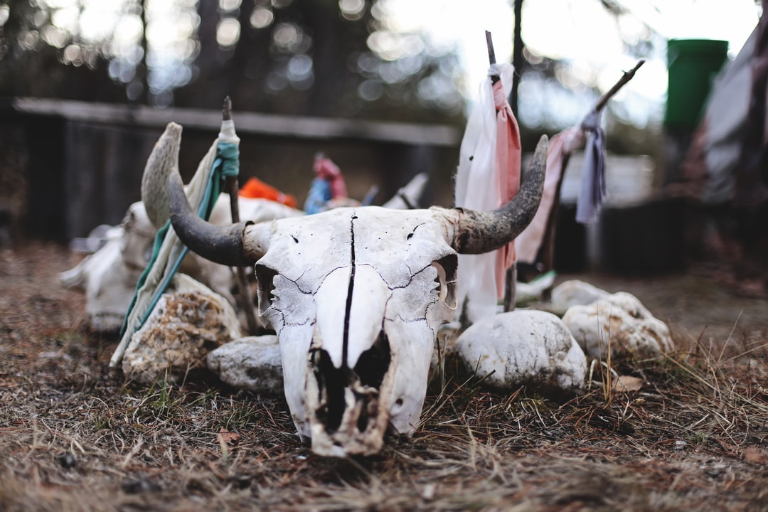 Buffalo skull at the altar before the Sweat Lodge ceremony