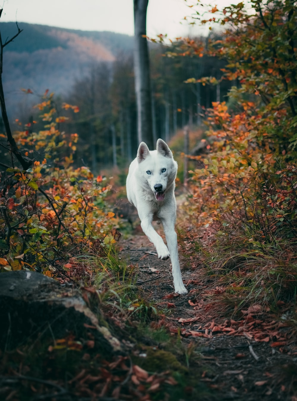 white wolf running near green plants and trees