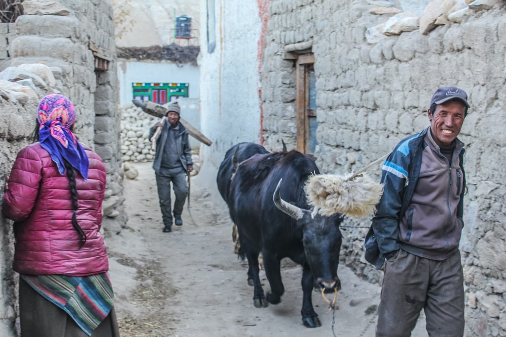 man holding leash of black cow