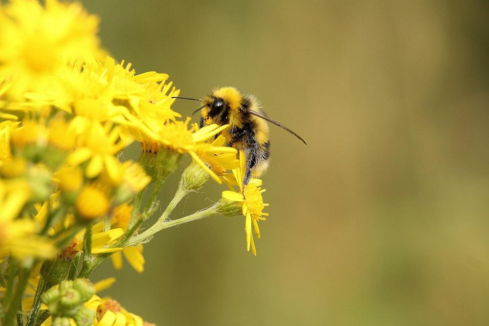yellow honey bee on yellow flower selective-focus photography