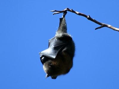 Uomini e pipistrelli, storia di una convivenza difficile