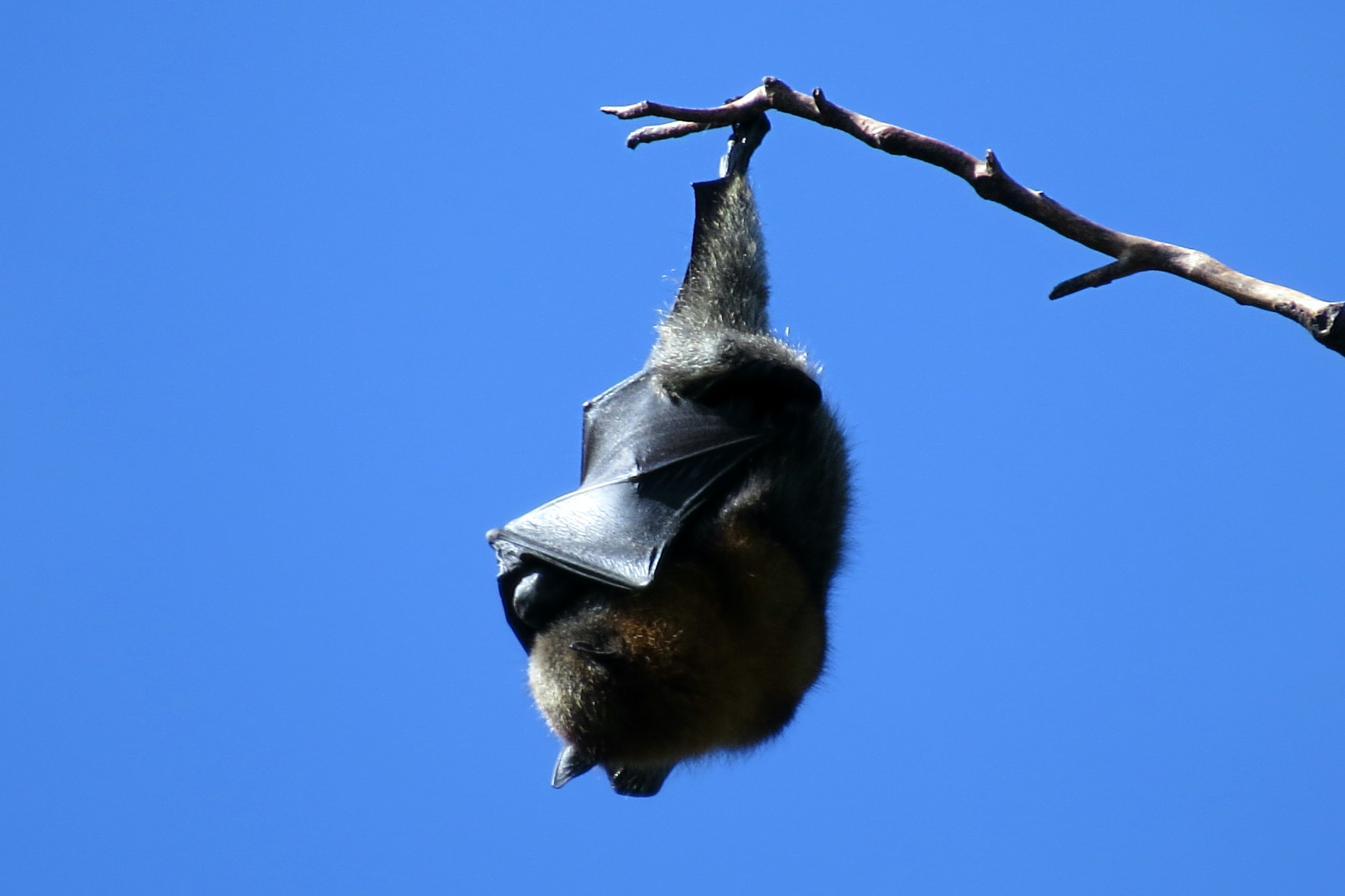 bat hanging on wood branch