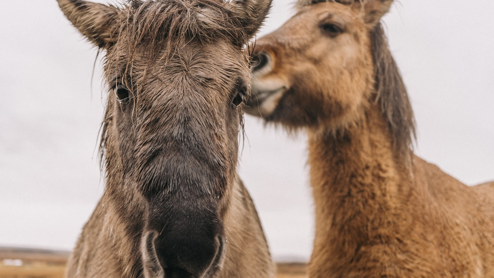 ow brown donkeys