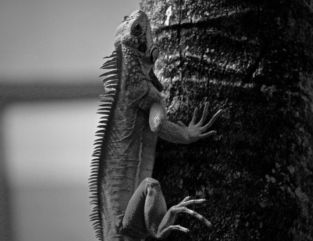iguana grayscale photo