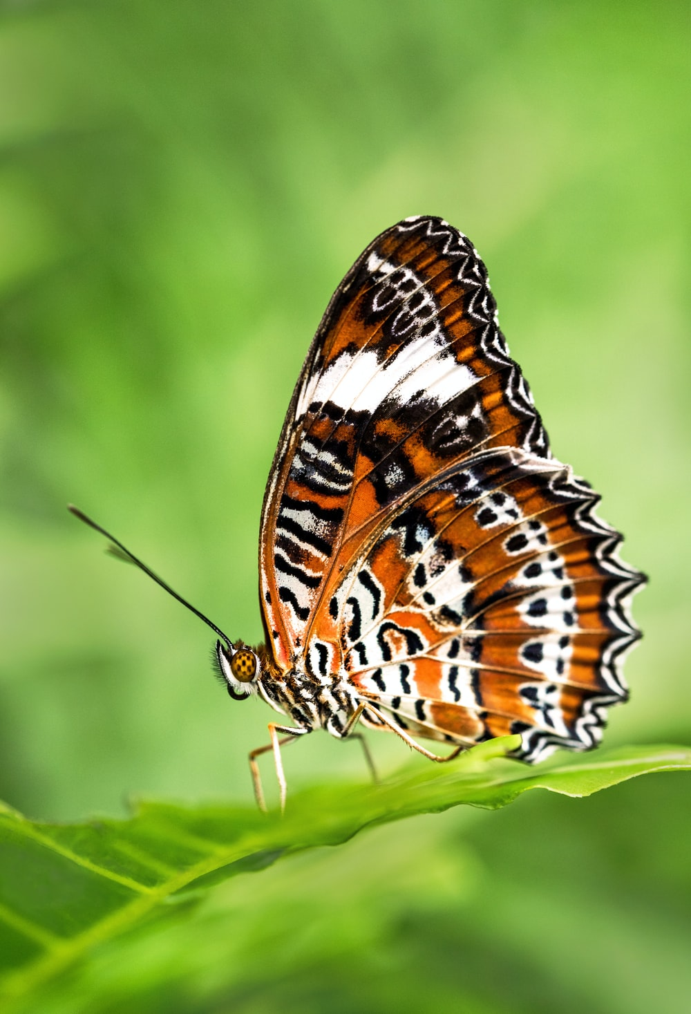 leopard lacewing butterfly perched on green leafed plant