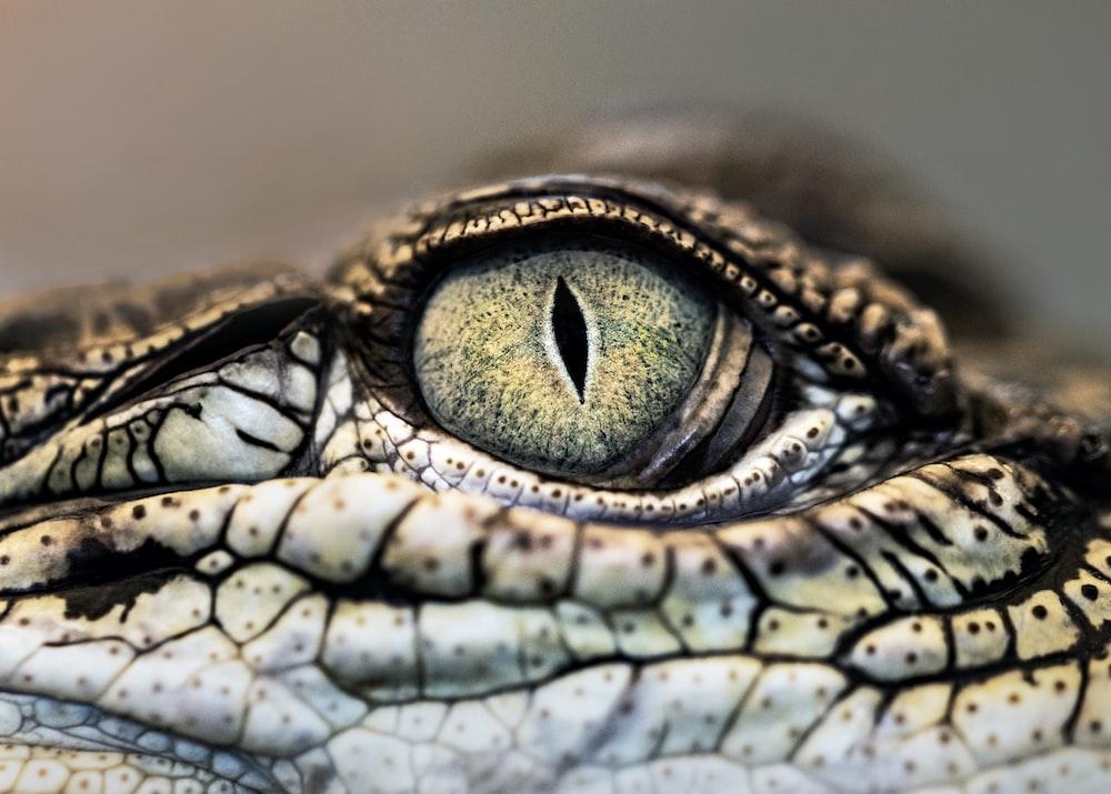 macro photography of crocodile eye