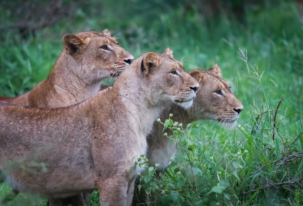 three Lioness standing near bush