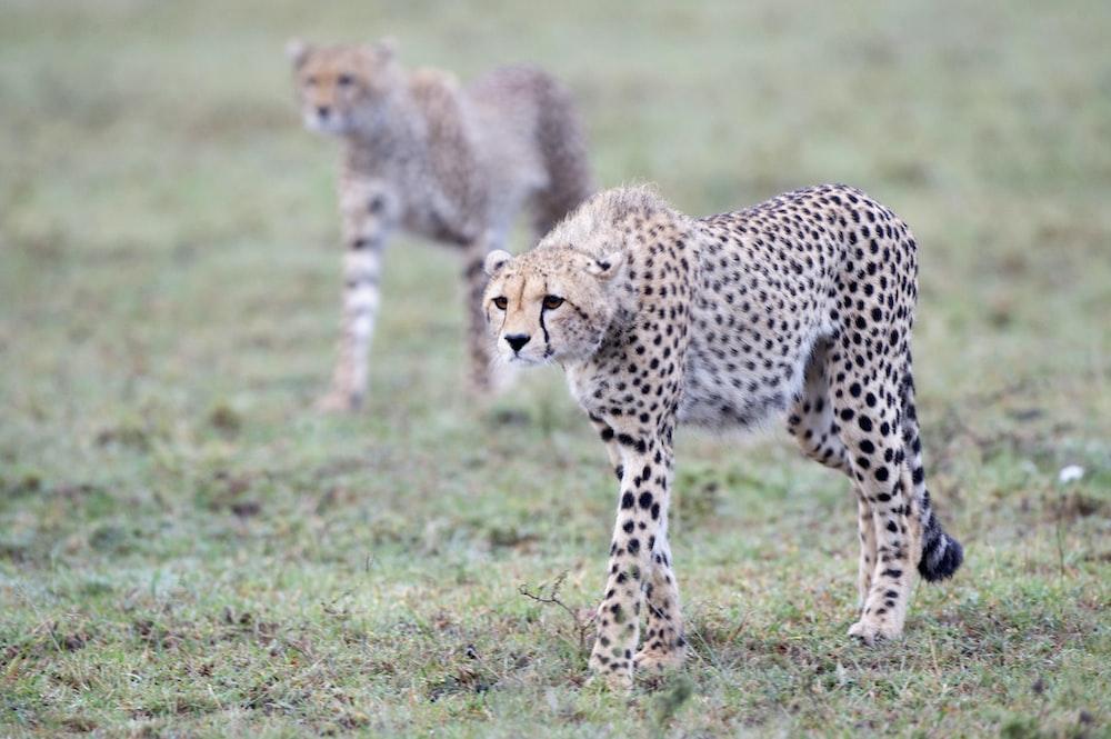 two Cheetahs standing on green grass