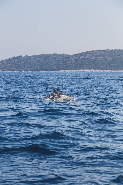 gray shark on water