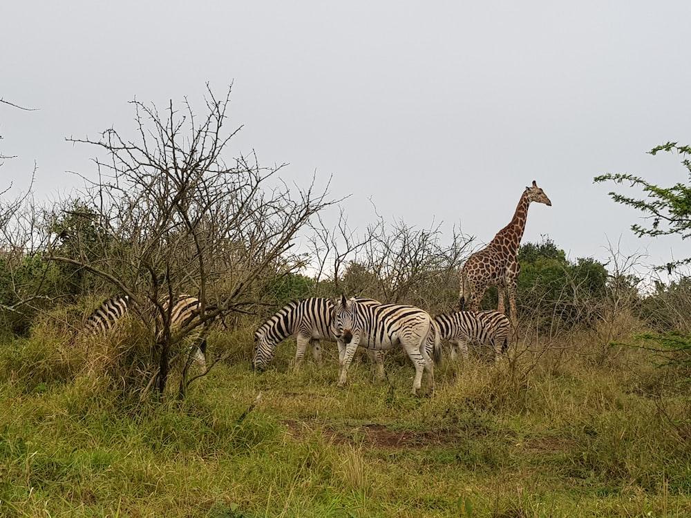 four zebras and one giraffe on green grass field