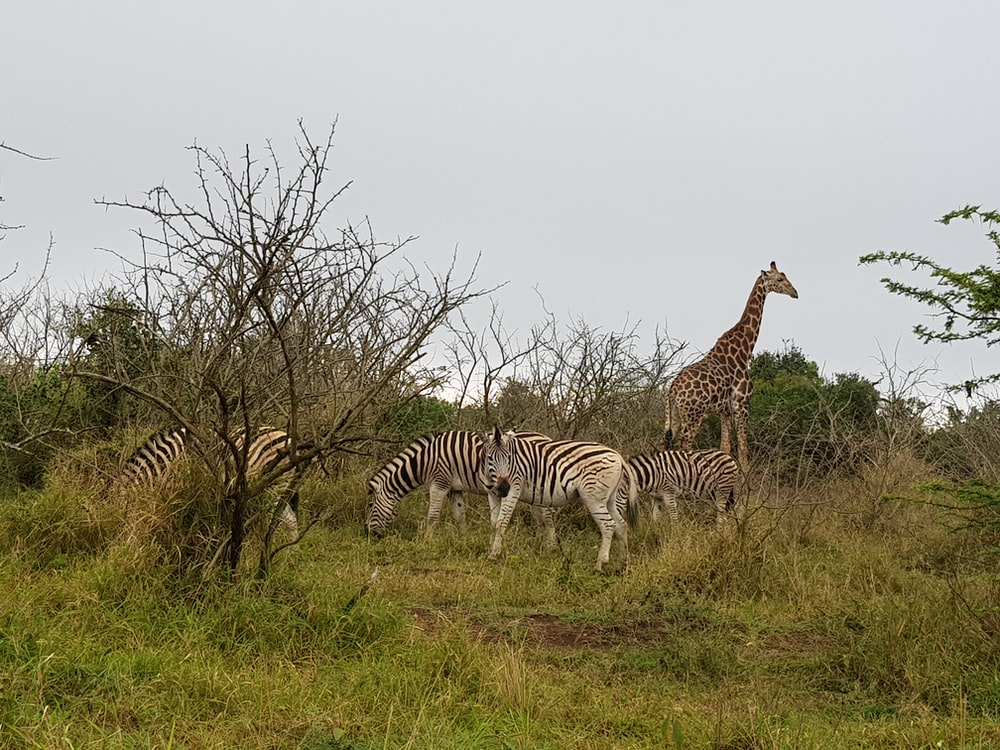 four zebras and one giraffe on green grass field