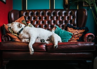 white pitbull on brown leather couch