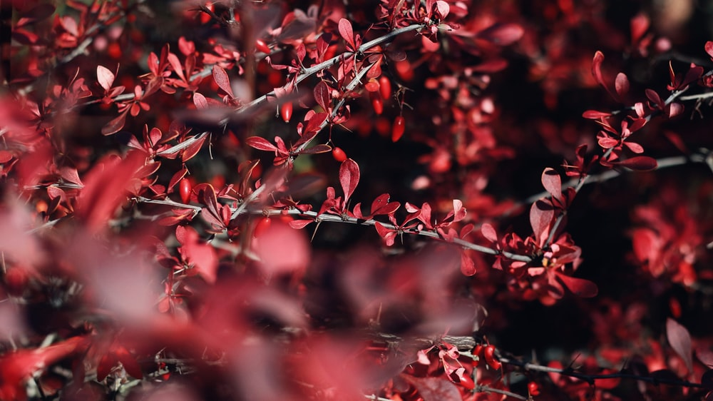bokeh photography of red-leafed plant