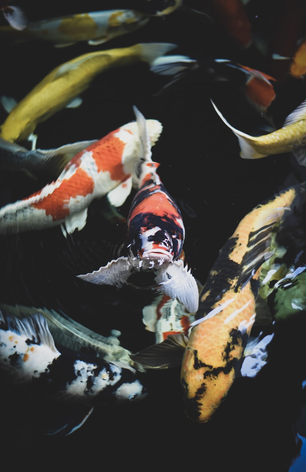 school of assorted-color koi fish