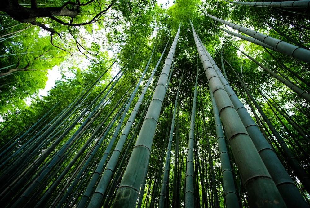 bamboo trees scenery