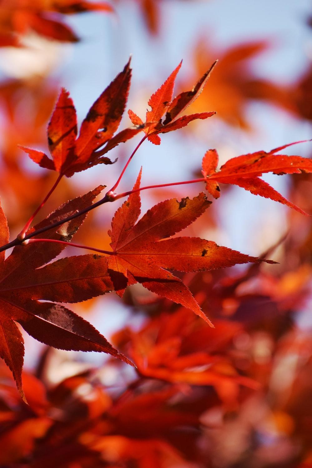 brown Maple tree leaves