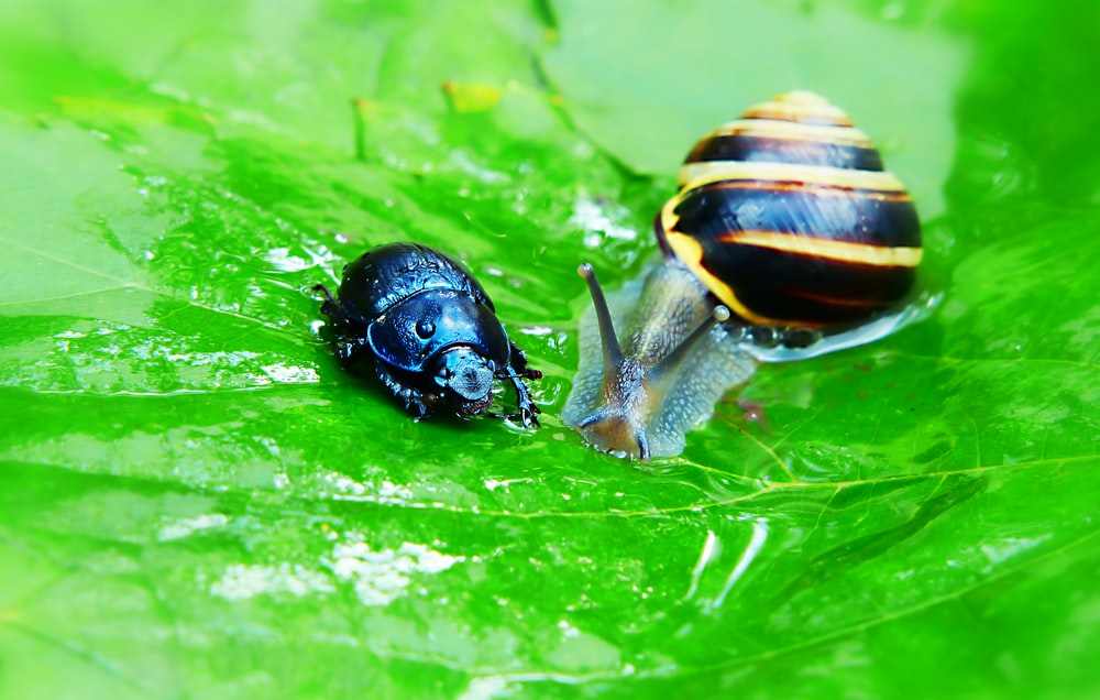 snail and dung beetle on green leaf
