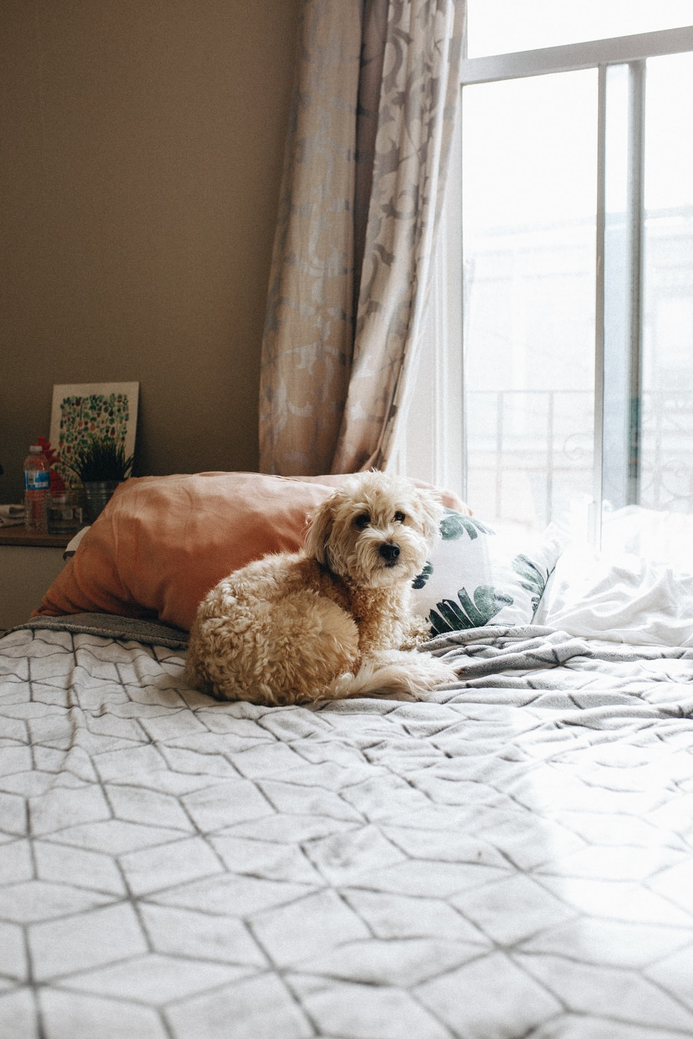 adult brown Lhasa apso on bed