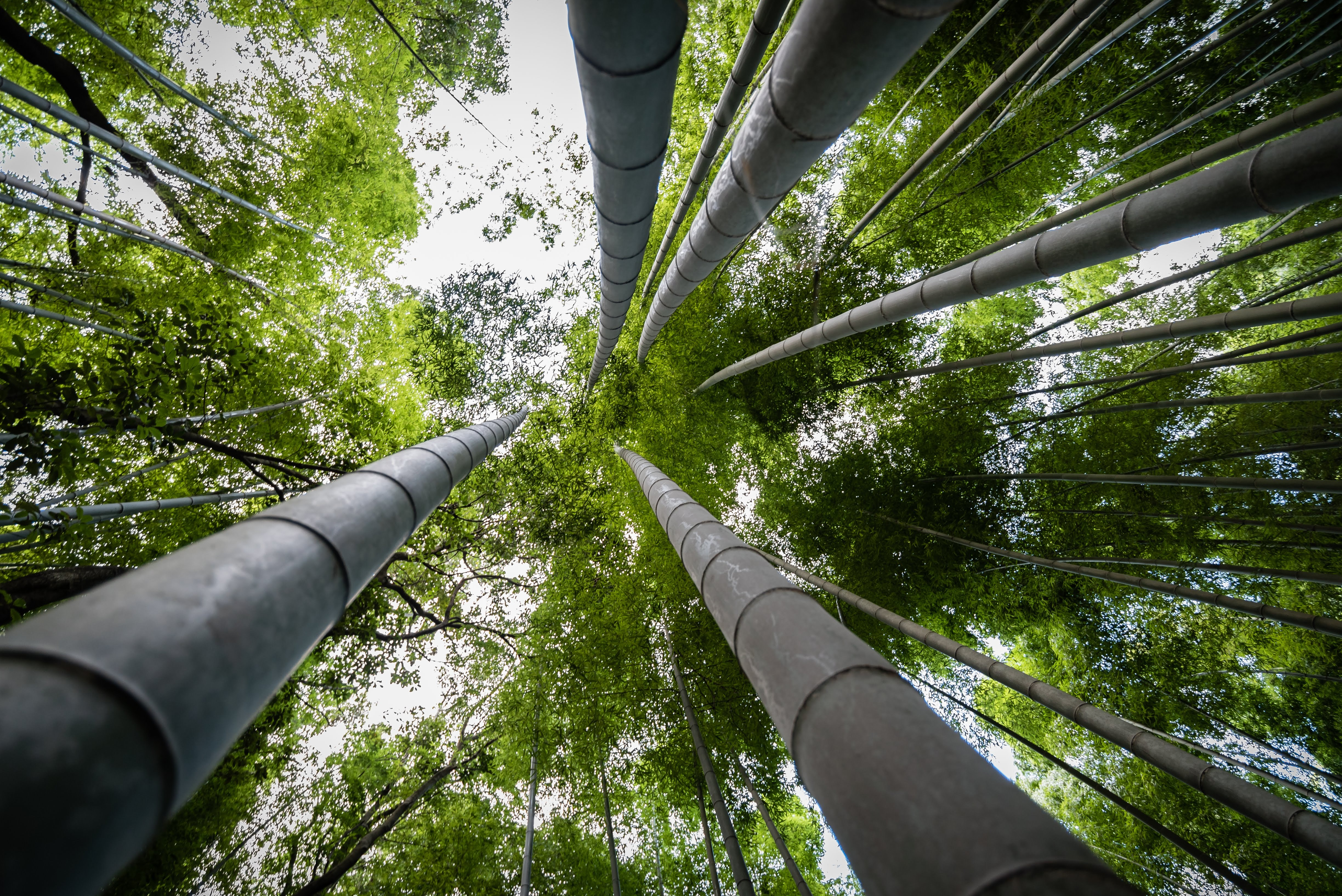 worm's-eye view photography of bamboo trees