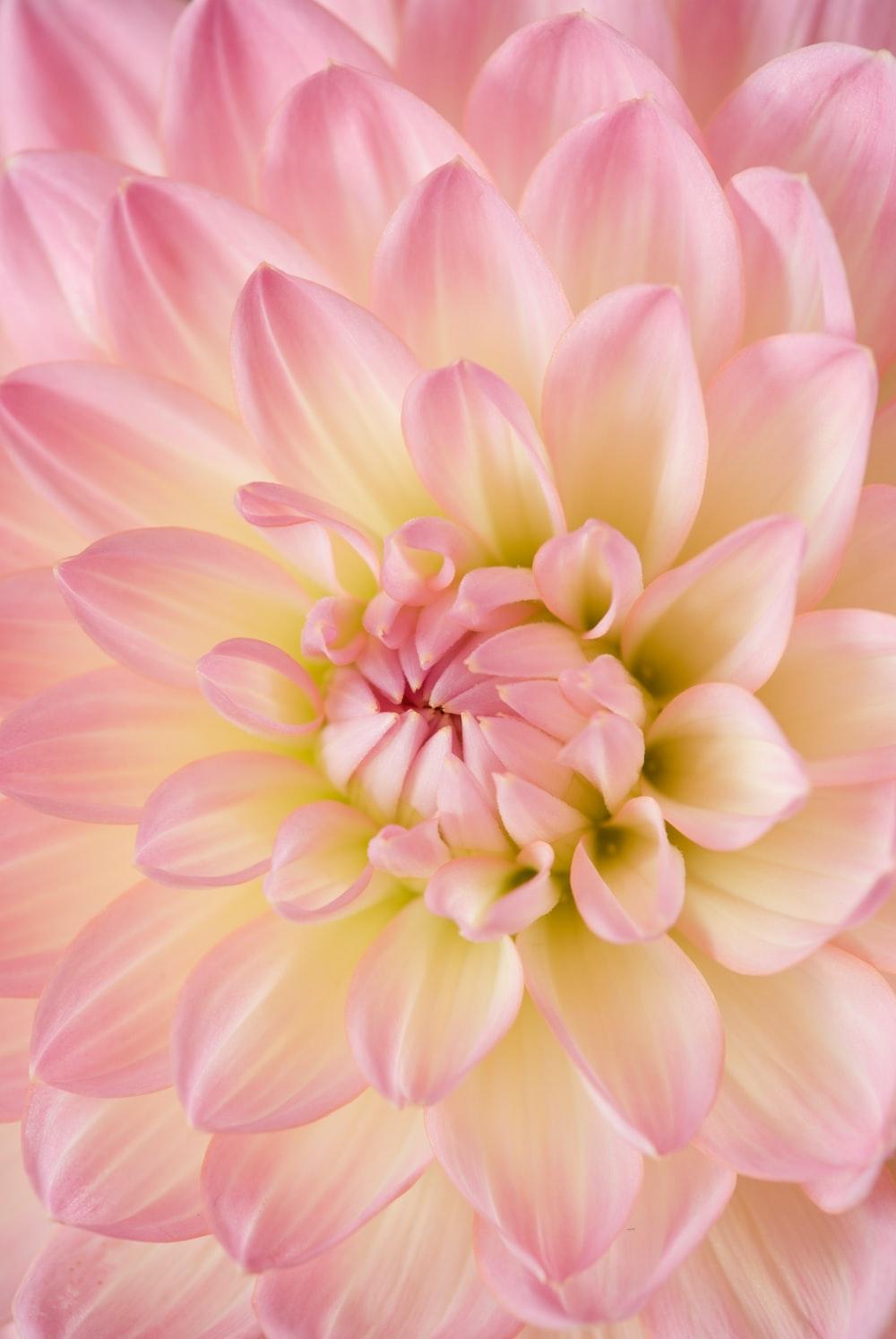 pink dahlia in bloom